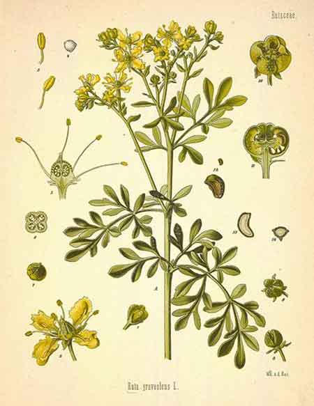 Mustard Flower Drawing Garden Rue